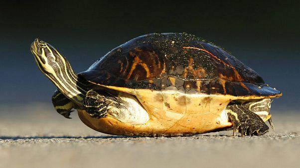 İtalya'da kaplumbağasını dışarı çıkaran kadına para cezası kesildi