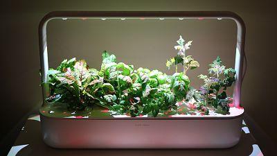 Click & Grow indoor smart garden, at full bloom