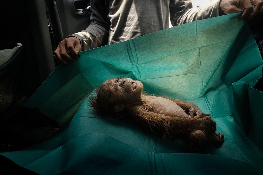 Il corpo di un'orangotango di un mese fa giace sul telo chirurgico di un'equipe di soccorso. È morta poco dopo essere stata trovata assieme alla madre ferita in una piantagione di palma da olio. Indonesia, 2019© Alain Schroeder© Alain Schroeder