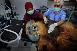 Fahzren, a 30-year-old male orangutan, undergoes a routine medical check, at the SOCP Quarantine Centre, on 29 January 2019