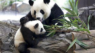 Çin'de panda erken doğum yaptı: İkiz yavrulara 'kuru makarna' ve 'yumurta keki' adı verildi