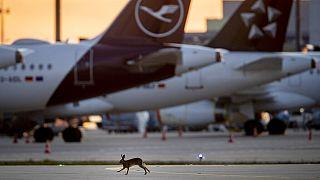 Egy nyúl szalad a Lufthansa német légitársaság leállított repülőglépei között a frankfurti repülőtéren 2020. április 11-én.