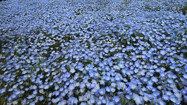 Нетронутые поля цветов в Японии