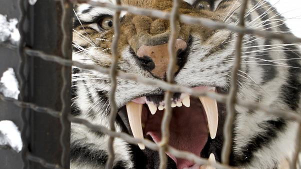 A Siberian tiger yawns in it's enclosure at the zoo in Bucharest, Romania, Friday, Feb. 3, 2012.