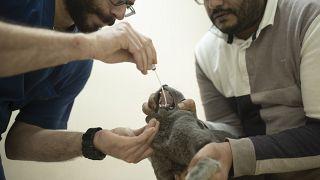 Koronavirüs testi yapılan kedi / Mısır