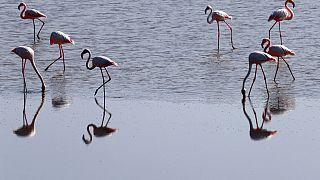 Cyprus Flamingo