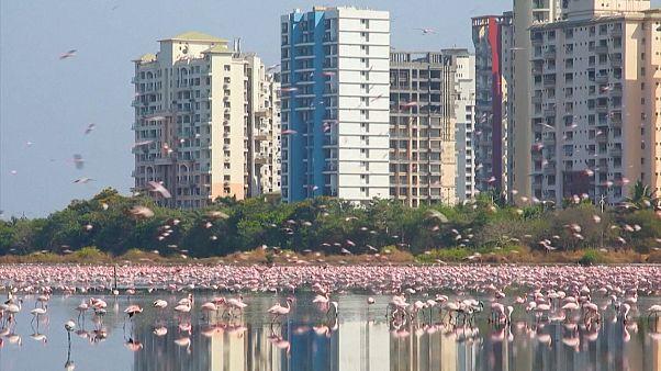 Beleza dos flamingos enche Nova Bombaim de cor