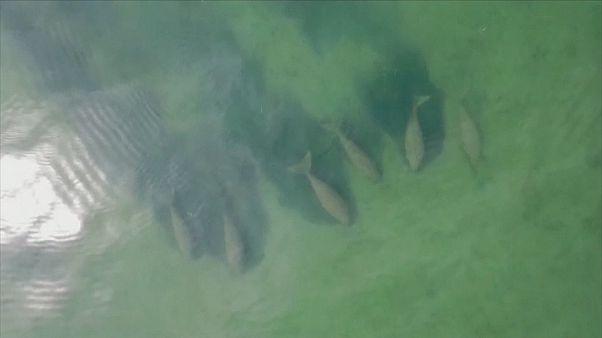 Ritka látvány: dugongcsorda jelent meg a thaiföldi vizekben