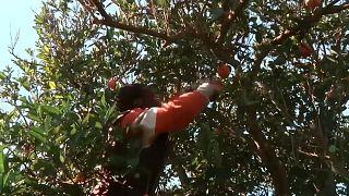Mancano lavoratori agricoli, l'Italia studia una sanatoria