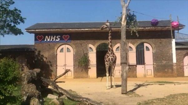 Londoner Zoo: Giraffenhaus zeigt sich solidarisch mit Corona-Bekämpfern