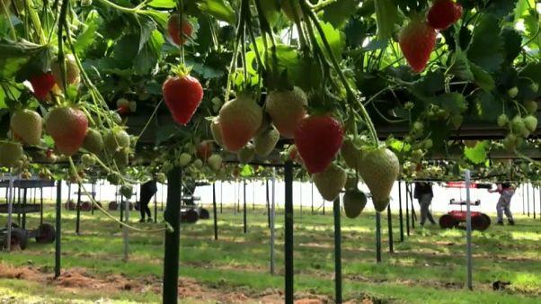 Confrontés à la crise économique, les agriculteurs anglais craignent pour leurs récoltes