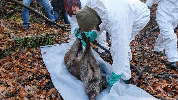 قسم الطب البيطري ضمن تدريبات تجريبية على خنزير ميت بغية اكتشاف محتمل لتفشي حمى الخنازير الأفريقية – غريما، شرق ألمانيا، 3 ديسمبر 2019.