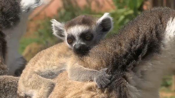 Süßer Nachwuchs im Athener Zoo, aber keine Besucher