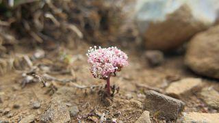 Ο πρίγκιπας του Αμπου Ντάμπι χρηματοδοτεί τη διάσωση σπάνιου φυτού στην Κρήτη