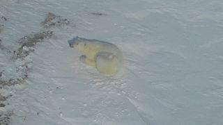 Белые медведи в Арктике (съёмка с дрона)