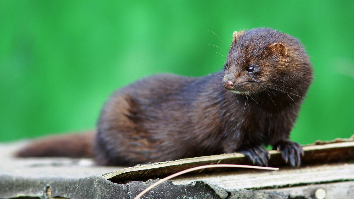Coronavirus A Mink May Have Transmitted Covid 19 To A Human Says Dutch Government Euronews