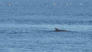 Wegen Corona-Auflagen: Wieder mehr Delfine vor Istanbul