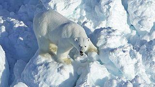 Polar Bear Encounters