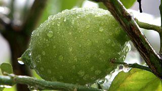 Covid-19: tutti pazzi per i limoni, boom del prezzo