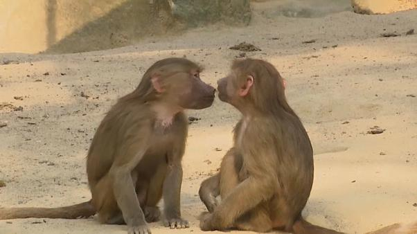 Ruhe vor dem Sturm im Affengehege - Zoo Berlin
