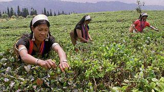 تاثیر کرونا بر بازار چای؛ افزایش قیمتها و کمبود کارگر در فصل برداشت