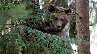 اولین خرس قهوهای در پارک ملی شمال اسپانیا پس از ۱۵۰ سال مشاهده شد