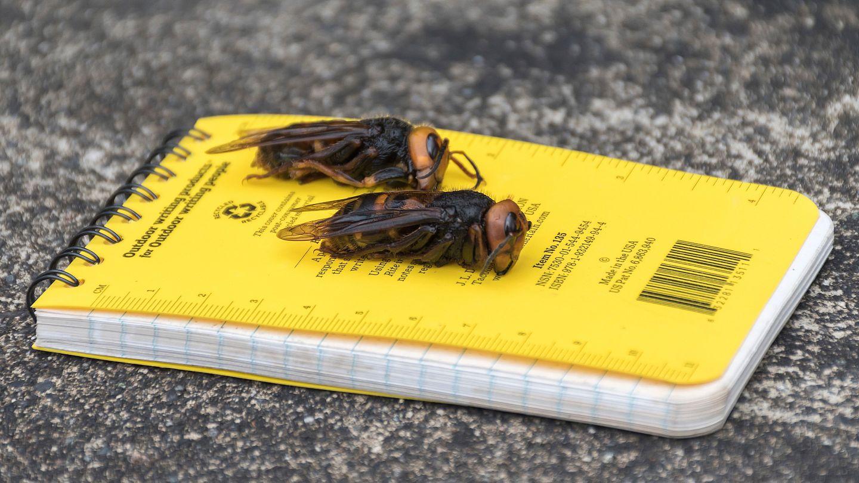 حشرة الدبور