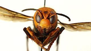 زنبور قاتل آسیایی در کمین زنبور عسل آمریکا
