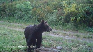 Галисию навестил бурый медведь