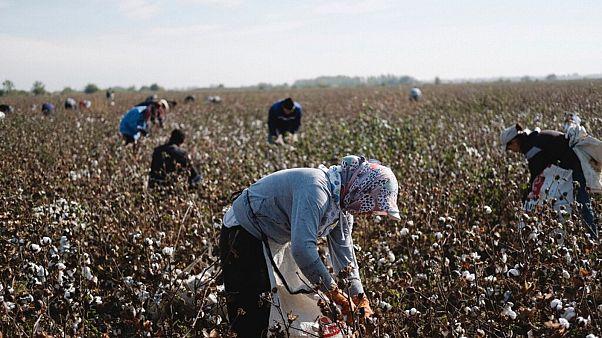 File - Uzbek workers pick parched cotton on the field in Tashkent region in Uzbekistan, Oct. 18, 2018