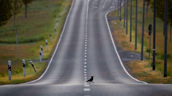 Varjú sétál egy német közúton