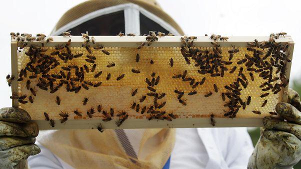 Fransa'da Covid-19'un etkisiyle son 40 yılın en iyi hasadına rağmen arıcılar endişeli