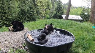 Élvezte a dézsában pancsolást az Oregoni Állatkert fekete medvéje