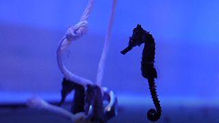 پروژهای در سواحل استرالیا برای نجات گونه اسبهای دریایی