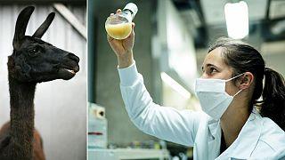 «وینتر» لامای ۴ سالهای که محققان بلژیکی و آمریکایی روی آن برای درمان کووید ۱۹ تحقیق میکنند.