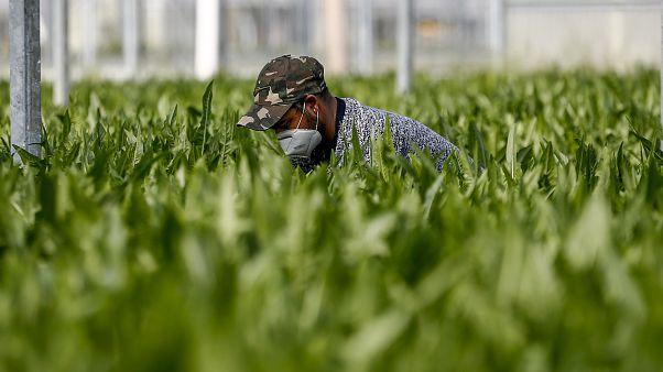 Спасти урожай: украинские сезонные работники и нелегалы помогут ЕС