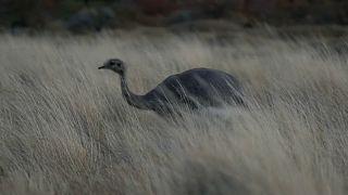 El ñandú corre en libertad por la Patagonia