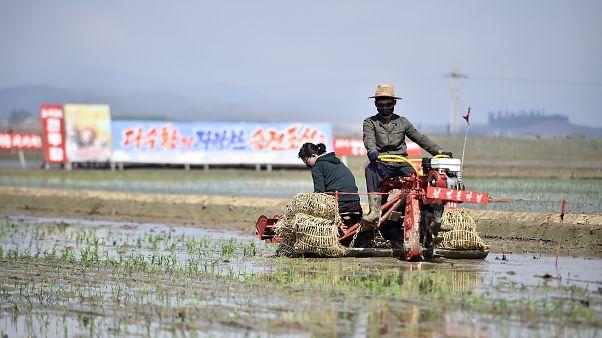 Empieza la siembra del arroz en Corea del Norte