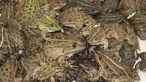 Çukurova kurbağası
