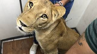 Kiselefánt Prágában és otthon tartott oroszlán Kairóban