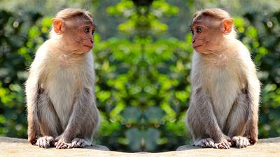 Like humans, monkeys also need to keep their distance to avoid spreading disease.