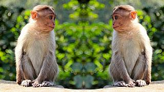 Wie der Mensch, müssen auch Affen Abstand halten, damit sich Krankheiten nicht zu schnell verbreiten.