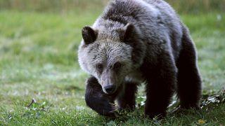 دب يبحث عن فواكه على بعد أميال من مدخل حديقة يلوستون الوطنية في الولايات المتحدة