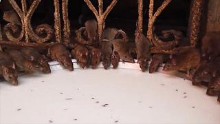'Fare Tapınağı'nda ziyaretçiler 20 bin fareyle iç içe ibadet ediyor