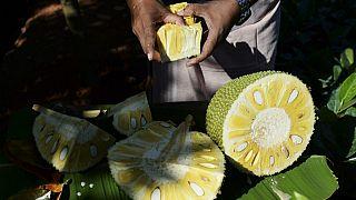 Ete alternatif 'süper yiyecek' artocarpus heterophyllus meyvesine talep artıyor