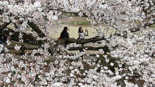 Japonya'da sakura çiçeği