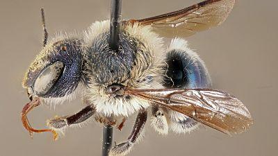 The blue calamintha bee