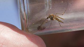 Koronavírus: a szúnyogok, kullancsok nem terjesztik
