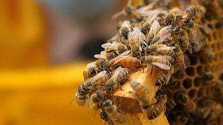 Egyre nagyobb veszélyben a méhek