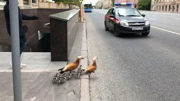 A Moscou, les canards traversent, la circulation s'arrête